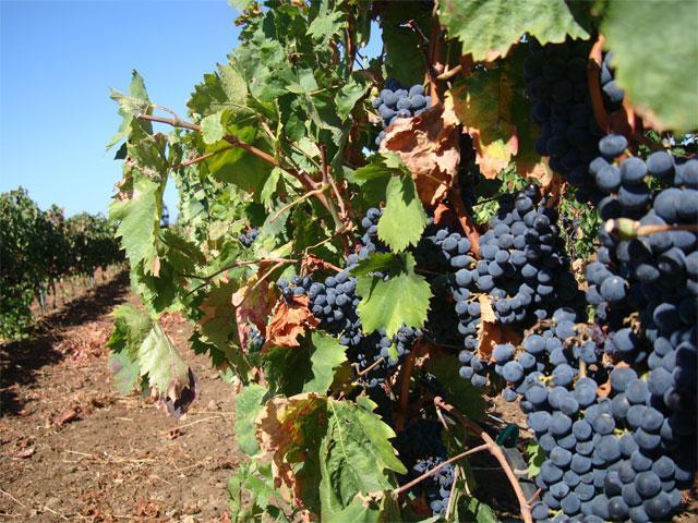 Caponieddu is ook een producent van de wijnen Vermentino en Cannonau